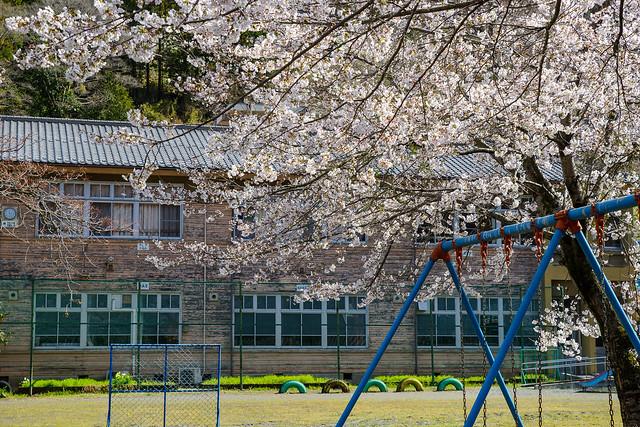 廃校となった小学校に咲く桜