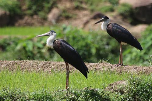 srilanka wildlife birds stork woollyneckedstork