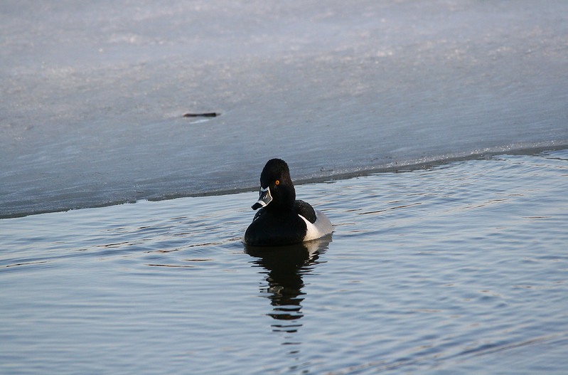 Ring Necked Duck