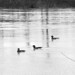 Ducks on the White River - Shoals, IN