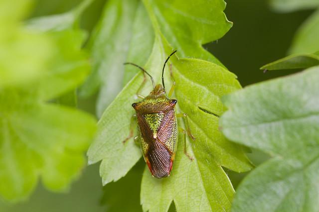 172: Hawthorn Shieldbug