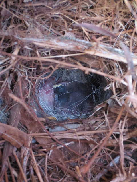 sparrow babies