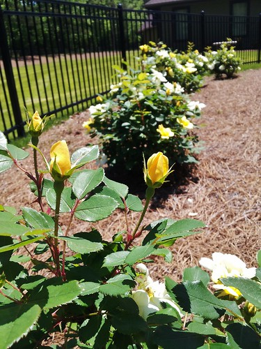 yellow roses of GA