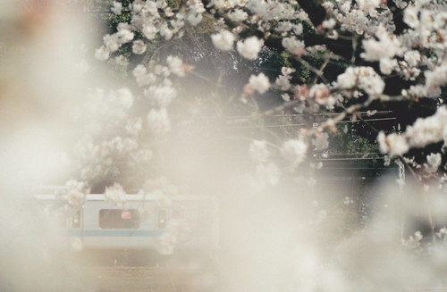 桜(前ボケ)