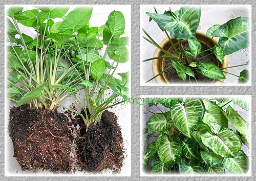 Propagating Syngonium podophyllum by division
