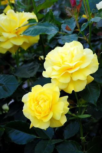 Shonai Ryokuchi Koen Roses 021r