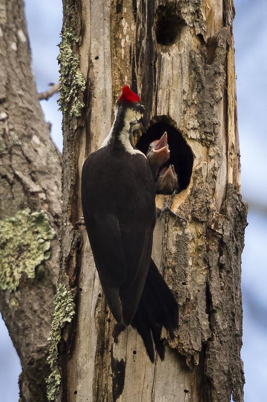 pileated woodpecker 6