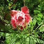 fringed pink petals