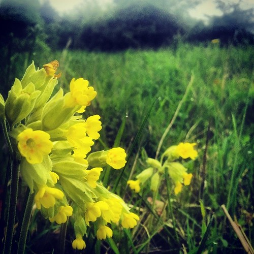 #cowslips #botany #Lincolnshire