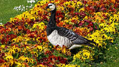 Barnacle Goose in the flowerbed
