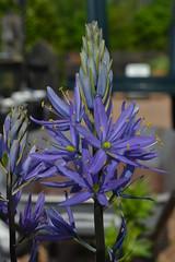 CAMASSIA leichtlinii ssp. suksdorfii 'Caerulea Group'