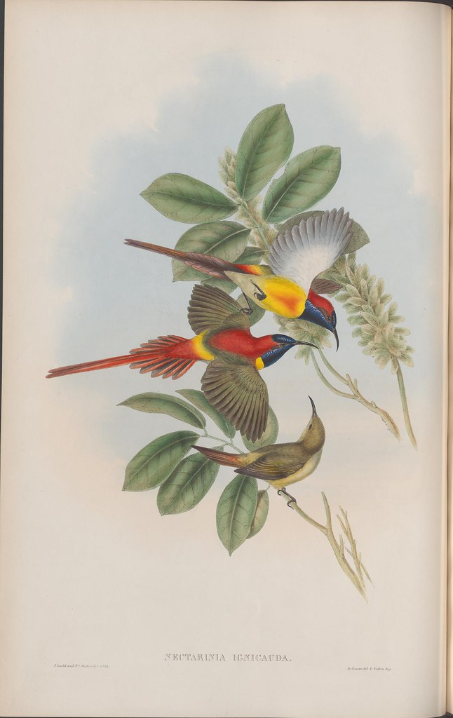 book illustration by J Gould of 2 colourful birds and a plain 3rd bird active in tree branch