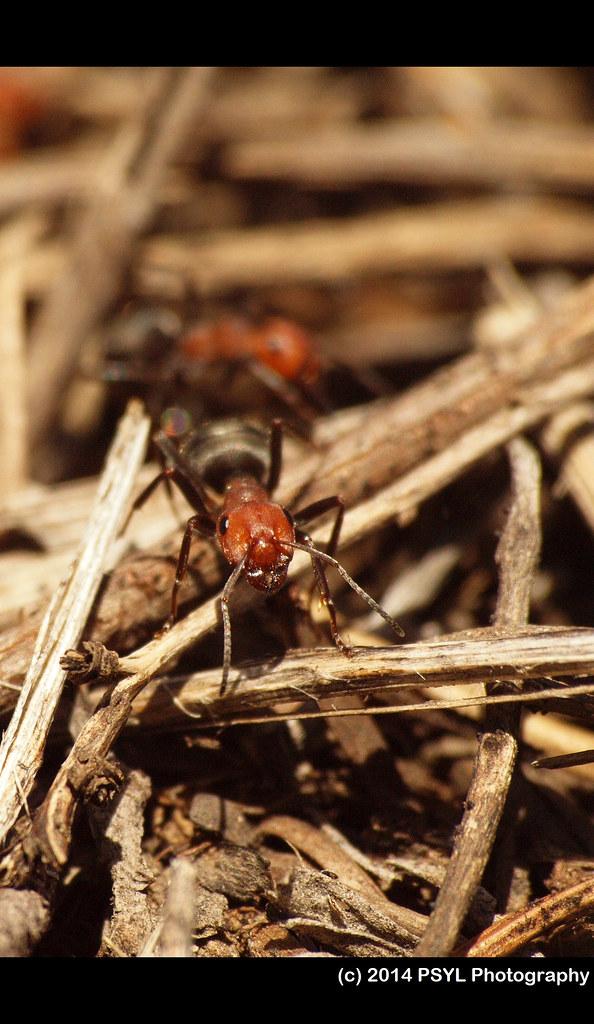 Formica obtusopilosa