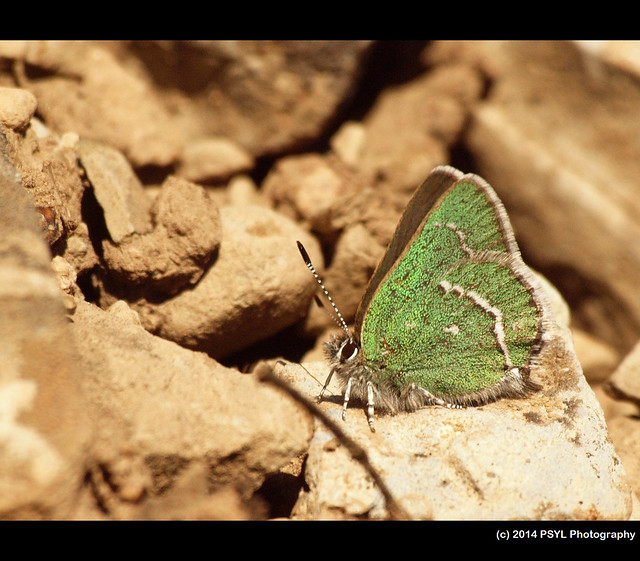 Sheridan's Green Hairstreak (Callophrys sheridanii)