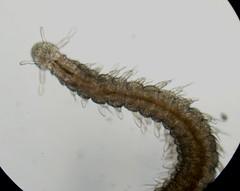 Pettiboneia urciensis