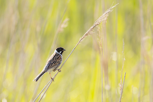 Reed Bunting, Elmley Marshes