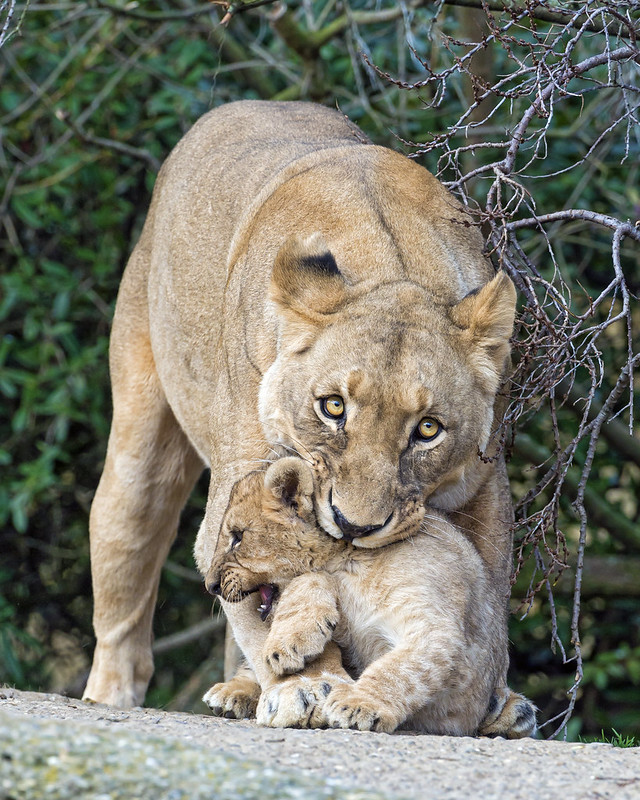 Lioness grabing her cub