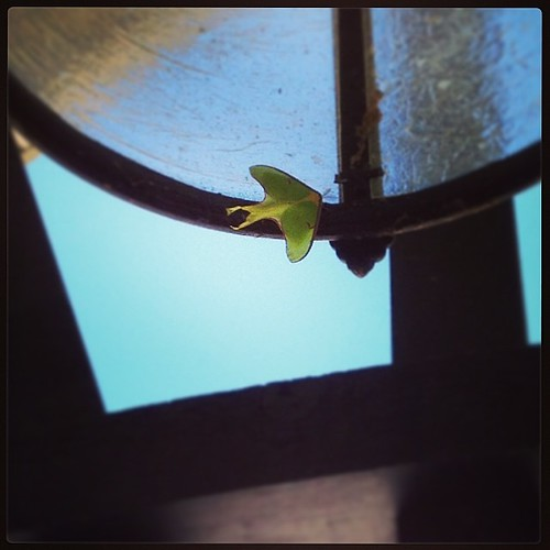 Luna moth. I've never seen one in person before and thought a leaf was stuck in the porch light fixture at first glance. #lunamoth