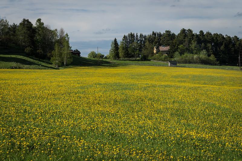 dandelions from Helsinki