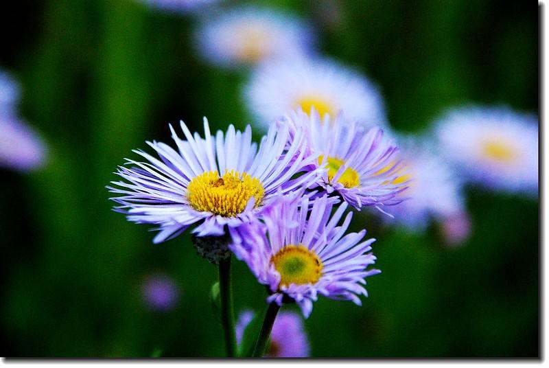 Pinnate-leaved Daisy 1