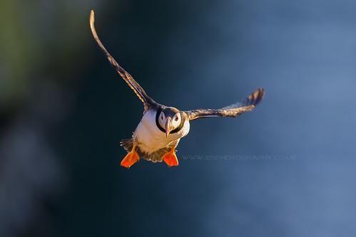 Flying Puffin - Skomer Island Wales 2014
