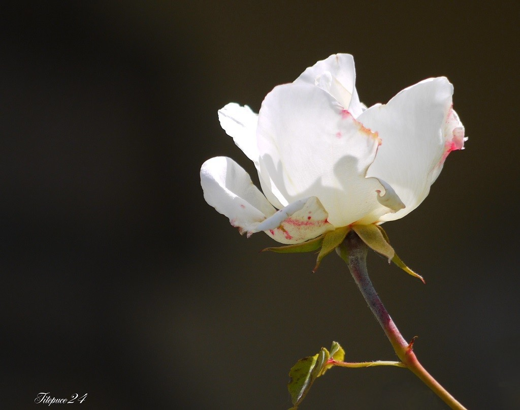 Y'avait un jour une rose... 14297343292_8905d09baf_o