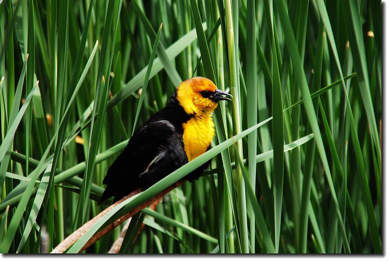 Yellow-headed Blackbird 3