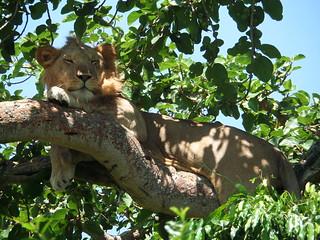 Ein wahres Löwenleben...
