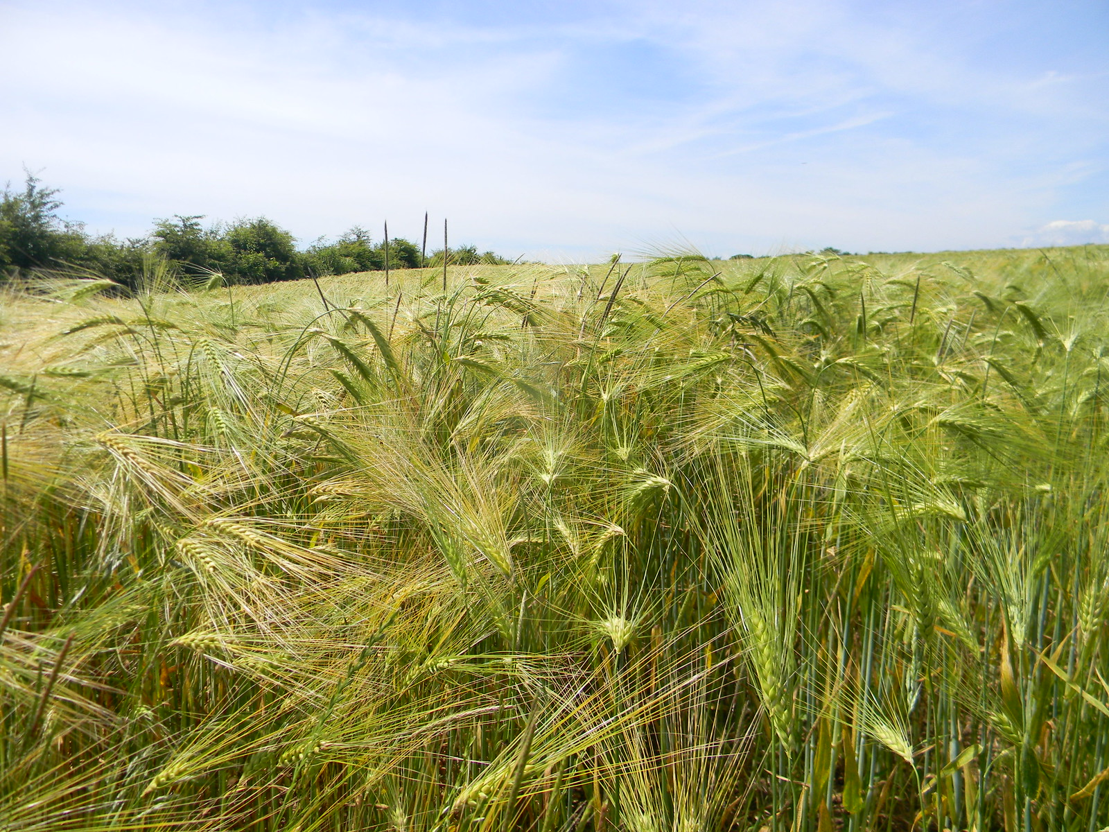 Barley Sandling to Wye