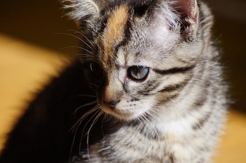 Pluks kittens