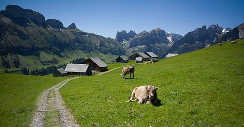 mountains animal schweiz switzerland kuh cow europe suisse hiking 28mm rangefinder alm svizzera alp appenzell wanderung m9 alpstein 2014 appenzellerland svizra elmaritm alpsigel appenzellinnerrhoden 140607 ©toniv leicam9 l1016680