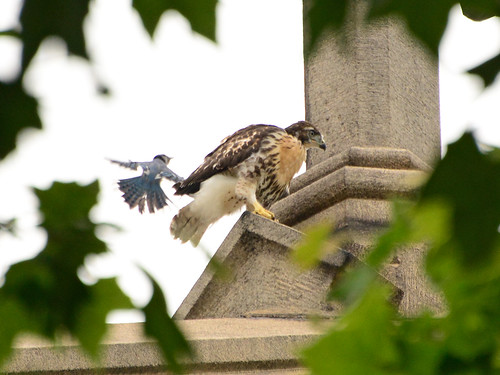 Cathedral Hawk Fledgling & Harasser (1462)