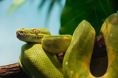 animal, serpent, western green mamba, yellow, snake, reptile, macro photography, green, fauna, close-up, scaled reptile,