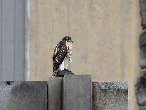 Cathedral Hawk Fledgling #1 (2148)