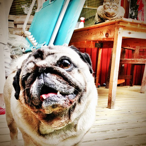 a pug amongst sceptical cats