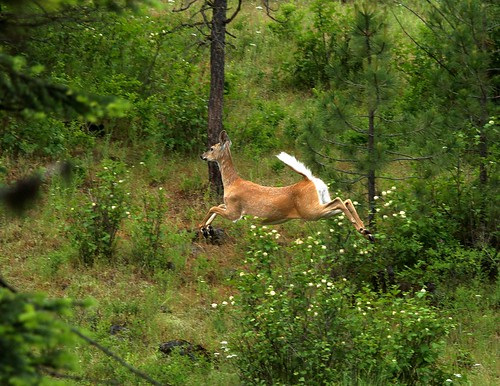 Whitetail Dear flying high