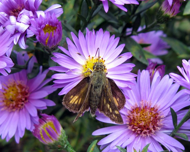 new england aster pollinator - moth