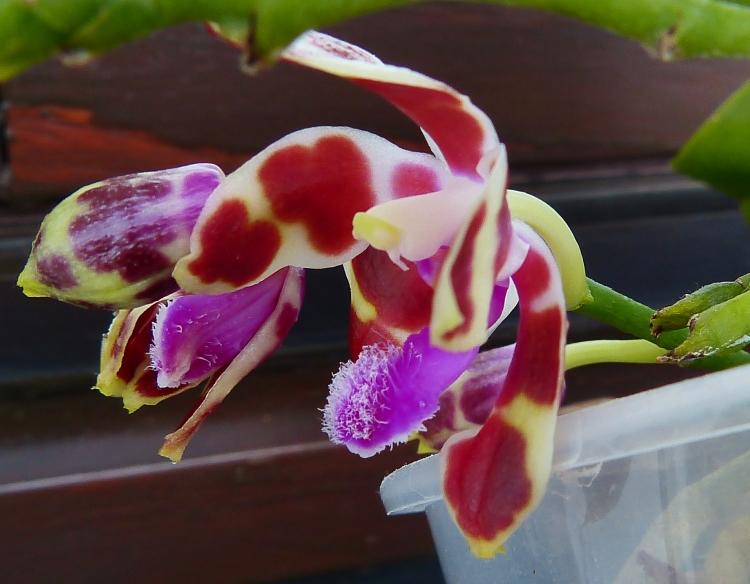 Phalaenopsis mariae - Seite 3 14448365496_7790e2c826_o