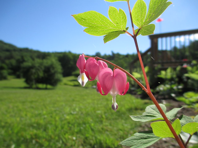 Old fashioned bleeding heart