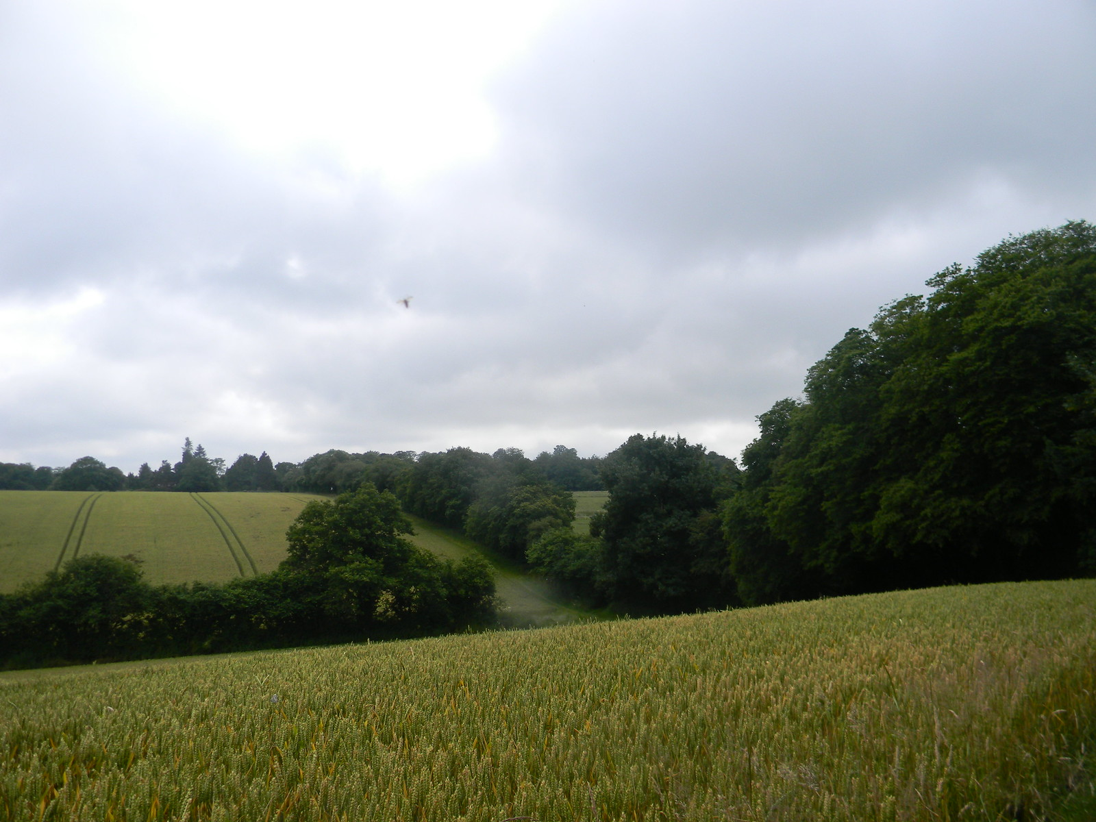 Field with UFB (Unidentified Flying Bug) Wendover to Great Missenden via Swan Bottom