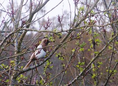 Brown magpie in tree