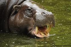 GaiaZOO - Dwergnijlpaard