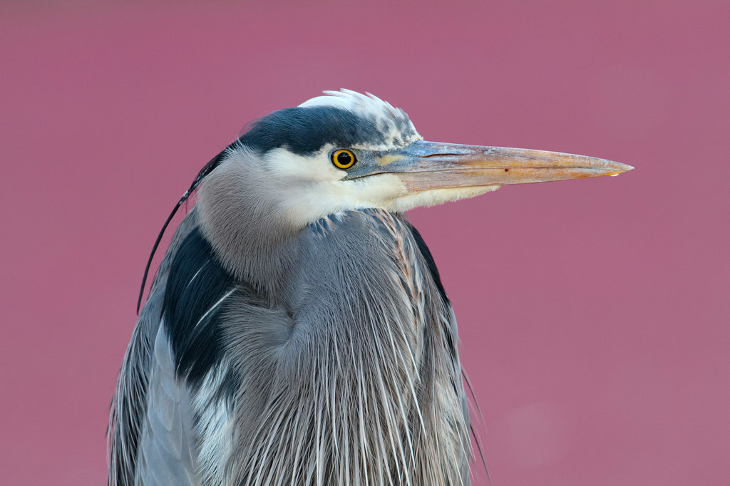 A close view of an adult great blue heron against a background of red duckweed