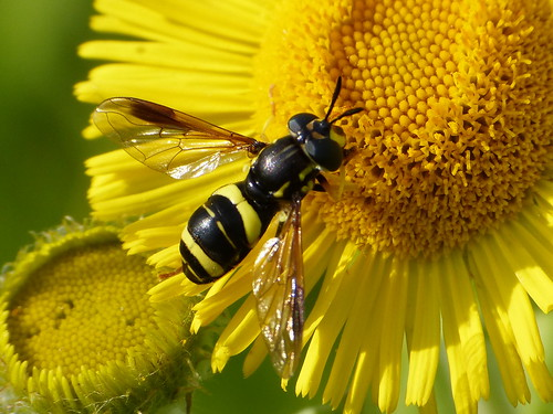 Chrysotoxum bicinctum Tophill Low NR, East Yorkshire July 2014