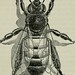"Image from page 215 of ""The ABC of bee culture: a cyclopaedia of every thing pertaining to the care of the honey-bee; bees, honey, hives, implements, honey-plants, etc., facts gleaned from the experience of thousands of bee keepers all over our land, and by Internet Archive Book Images"