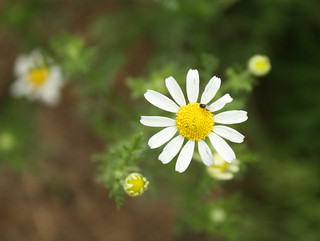 2014-7-11 Scentless Chamomile portrait