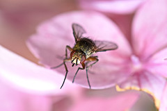 Macro of a fly on a pink flower