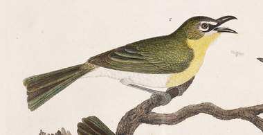Alexander Wilson, Yellow-breasted chat
