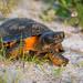 Wood Turtle (Glyptemys insculpta) by ER Post