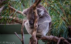 Snoozing koala